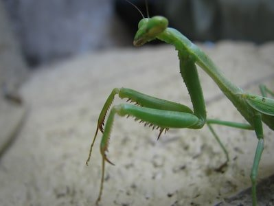 Praying Mantis Stuck on Wall