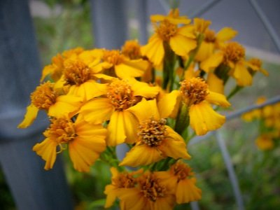Mexican Mint Marigold Flowers