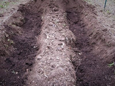 Trenches for asparagus planting