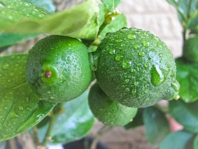 Key limes, almost ready to harvest.