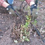Cutting the lemon balm back to about four inches.