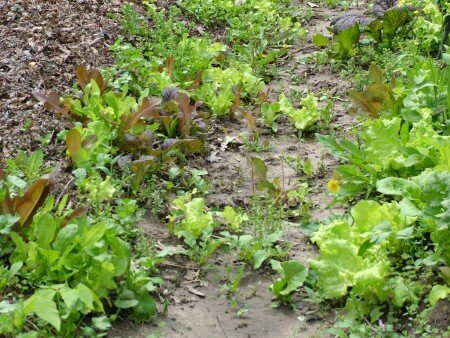 Volunteer Salad Greens