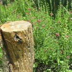 Oak log drilled with holes for native bees placed upright in garden near pink skullcap, Scutellaria suffrutescens