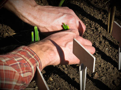 Two hands pressing the soil around an onion seedling.