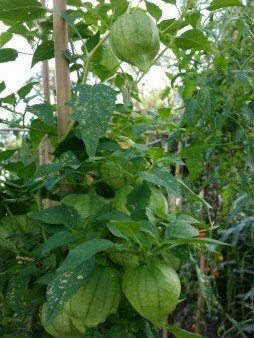 Tomatillos Are Related to Chinese Lanterns