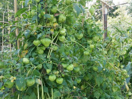 Tomatillo Vines