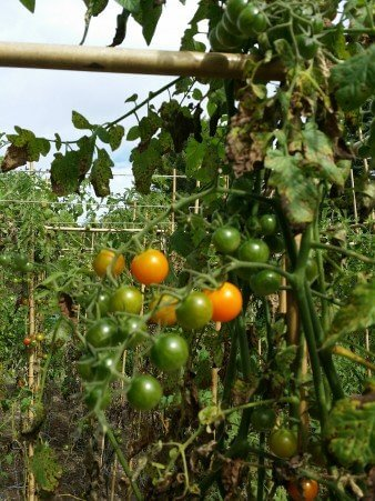 Tomatoes Are Easy to Harvest