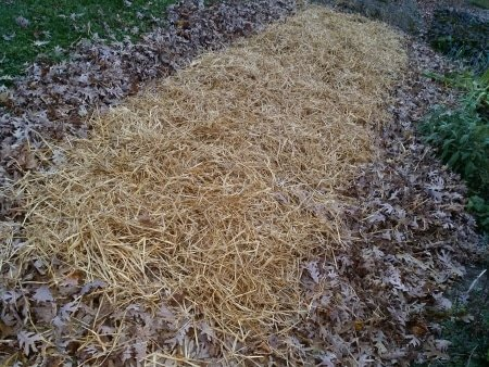 Straw Protects the Garlic Through the Winter