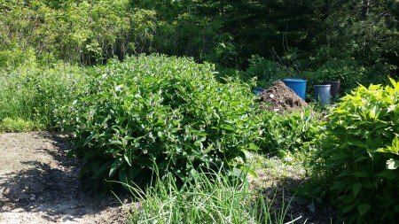 Comfrey by the Compost