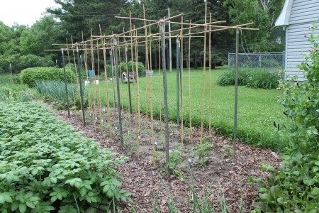 T-Post and Bamboo Tomato Trellis.