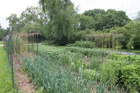 Two T-post and Bamboo Tomato Trellises