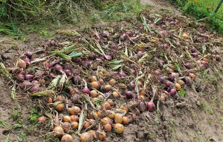 Harvested Onion Bed