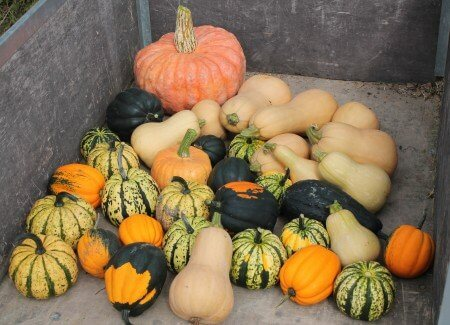 Harvest of Smaller Squash
