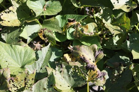 Frost and Beetle Damage
