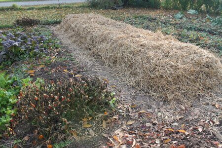 Garlic Seed Covered with Straw