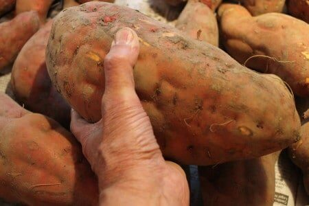 One Potato - Over Four Pounds