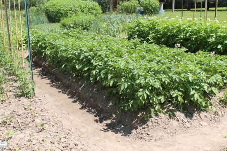 Potatoes in Open Raised Bed