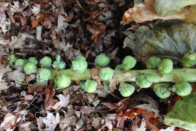 Mulched Brussels Sprouts