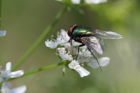Fly on Cilantro.