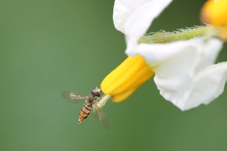 Small Bee on Potato Blossom