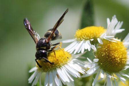 Wasp on Wild Aster