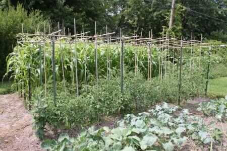 Tomatoes and Two Beds of Corn