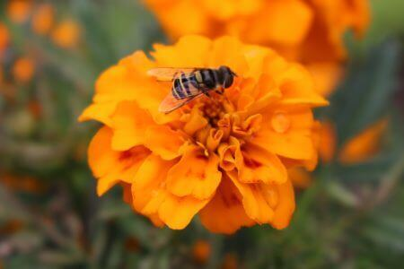 Marigold and Bee