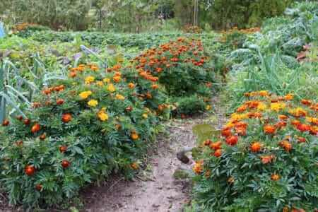Marigolds in the Beds