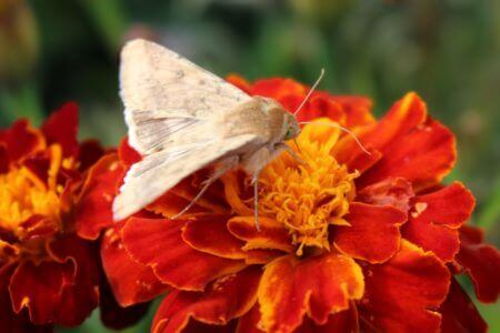 Moth on Marigold