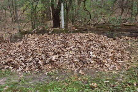 Wine Cap Straw Pile Mulched with Leaves