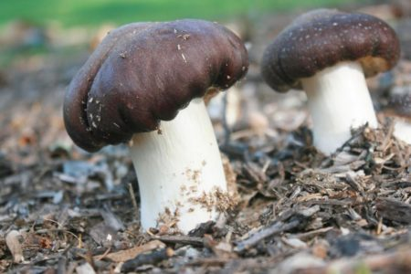 Wine Cap Mushrooms