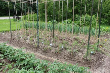 T-Post and Bamboo Tomato Trellis