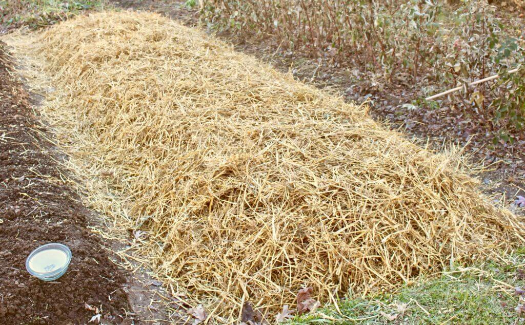 Garlic Bed Covered in Straw